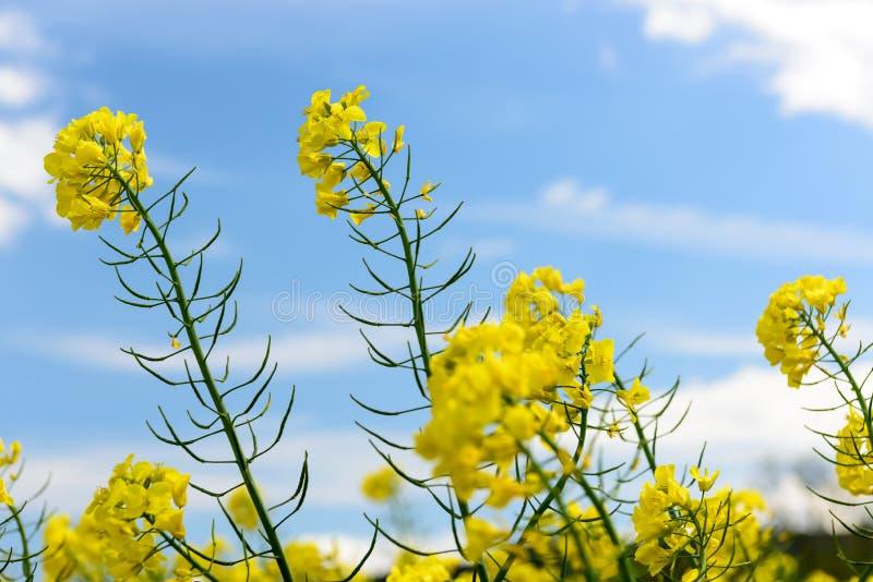 Желтые цветки против голубого неба стоковые фото