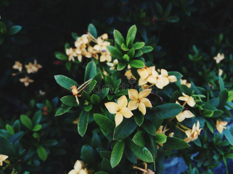 Желтые цветки Asoka стоковое изображение rf