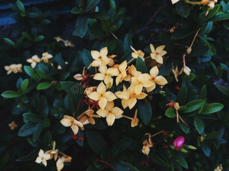 Желтые цветки Asoka стоковое фото rf