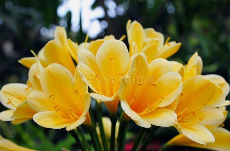 Желтые цветки Clivia стоковое изображение