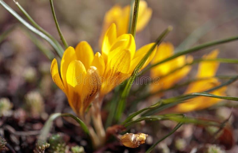 Желтые цветки snowdrop на том основании в парке стоковые фотографии rf