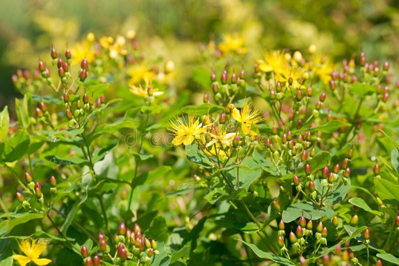 Желтые цветки Tutsan, также вызвали Wort Shrubby St John's, сладкий янтарь стоковая фотография rf