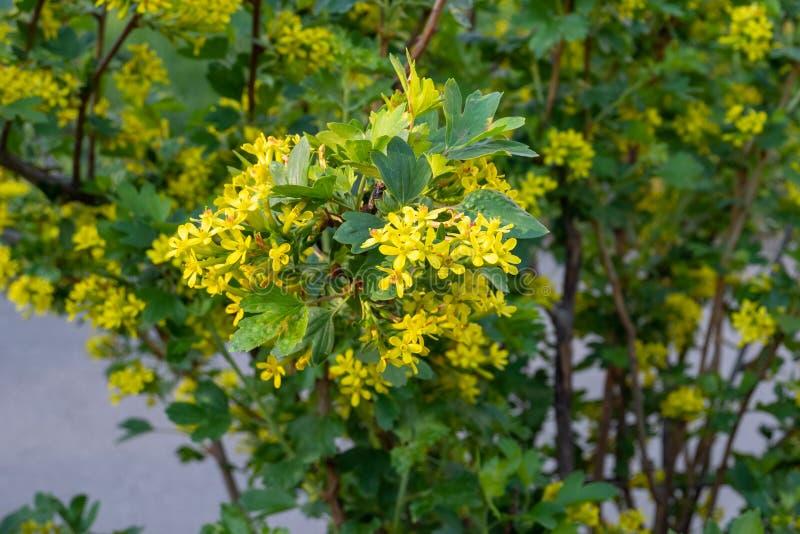 Желтые цветы плодоношения кустов Josta гибрид смородины и крыжовника arkivfoton