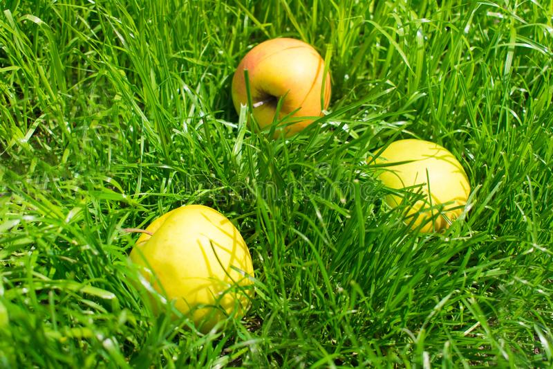 Желтые яблоки на зеленой траве стоковое изображение
