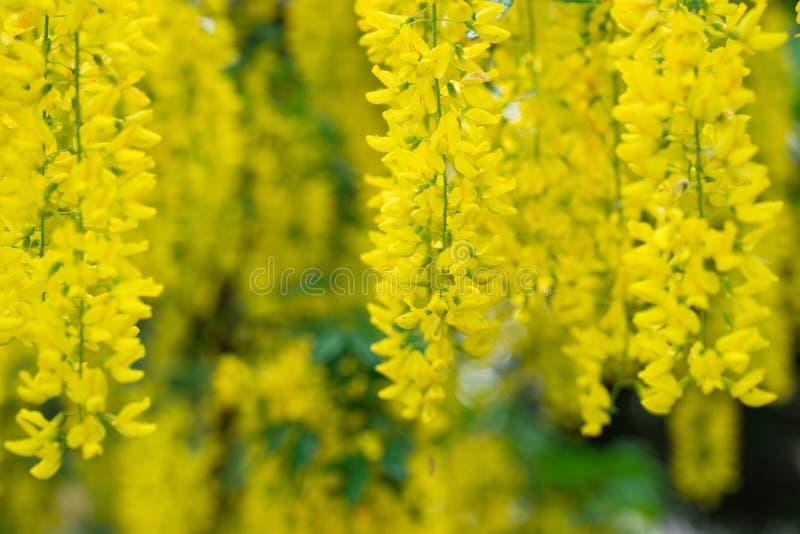 Желтые anagyroides laburnum, общий laburnum, золотые цветки цепного или золотого дождя стоковое изображение