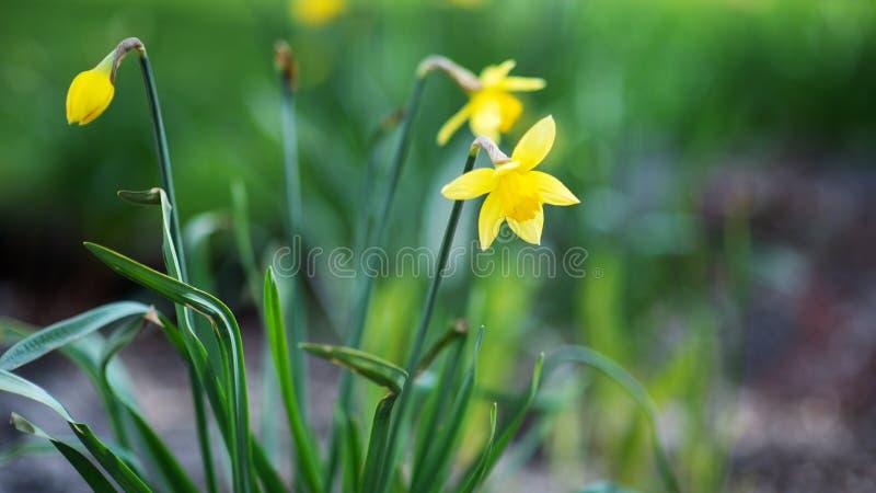 Желтые daffodils на запачканной предпосылке стоковые изображения