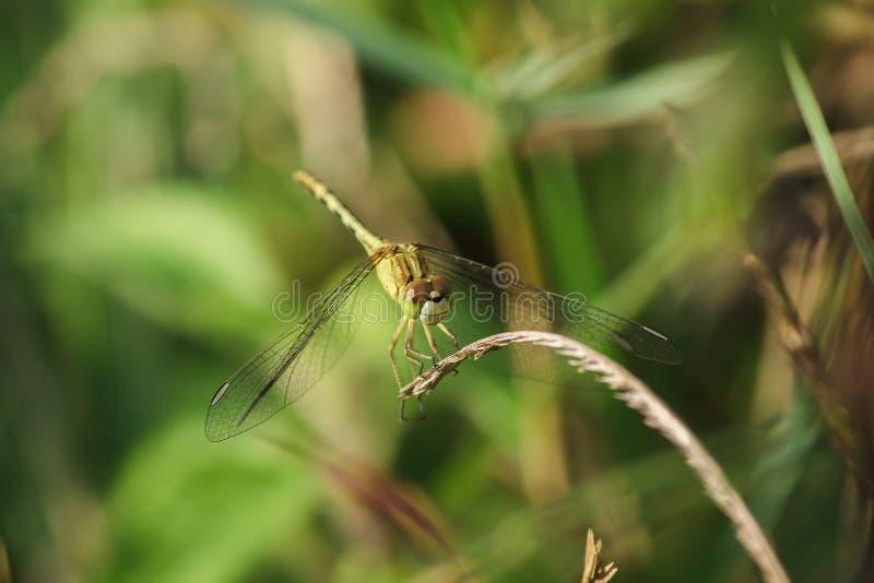 Желтые dragonflies на листьях в природе стоковая фотография rf
