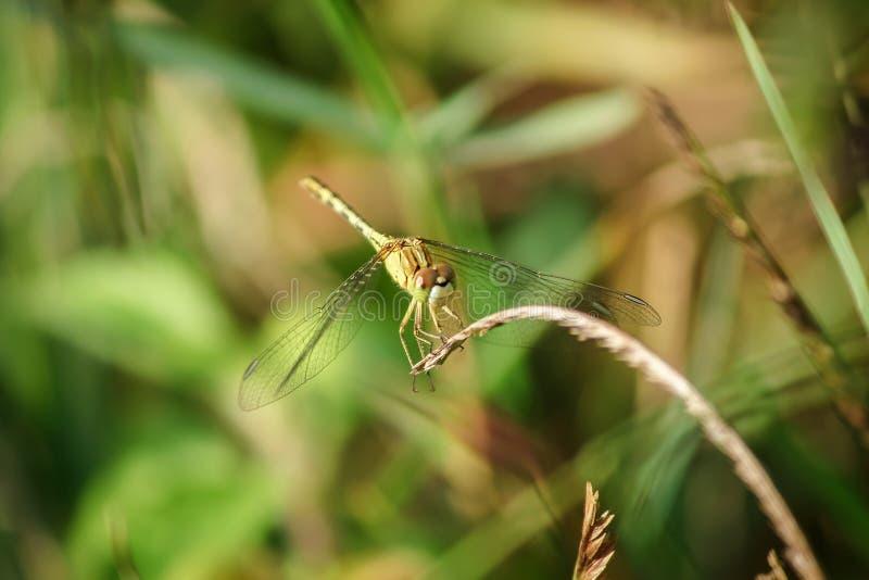 Желтые dragonflies на листьях в природе стоковое фото rf