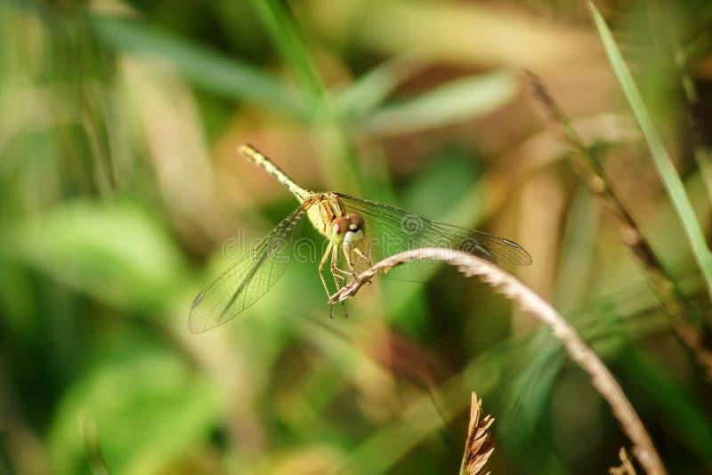 Желтые dragonflies на листьях в природе стоковое изображение