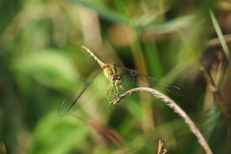 Желтые dragonflies на листьях в природе стоковое фото