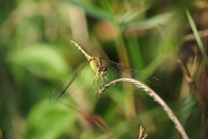 Желтые dragonflies на листьях в природе стоковые изображения