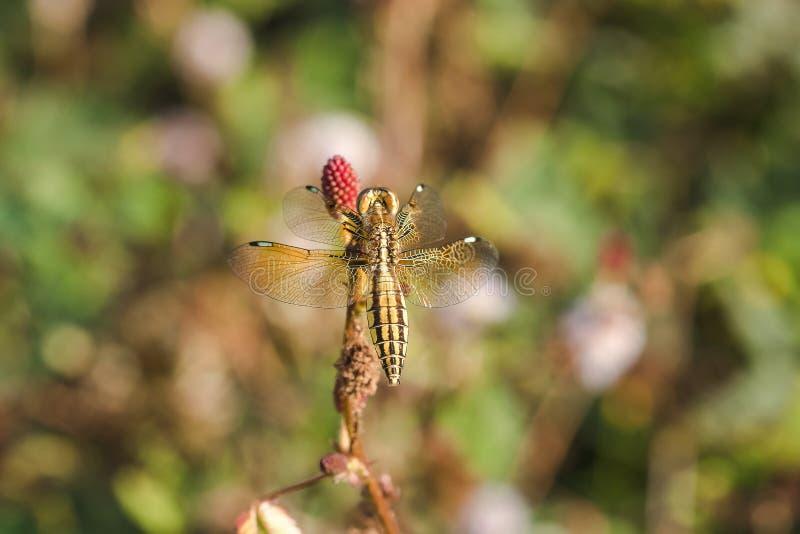 Желтые dragonflies на цветне красных цветков стоковое изображение
