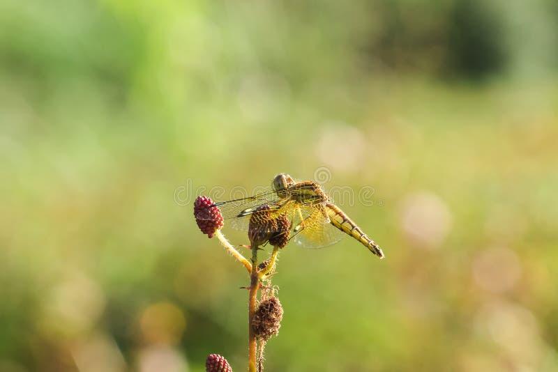 Желтые dragonflies на цветне красных цветков стоковое фото rf