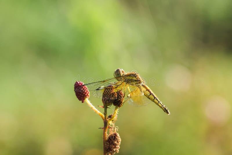 Желтые dragonflies на цветне красных цветков стоковая фотография rf