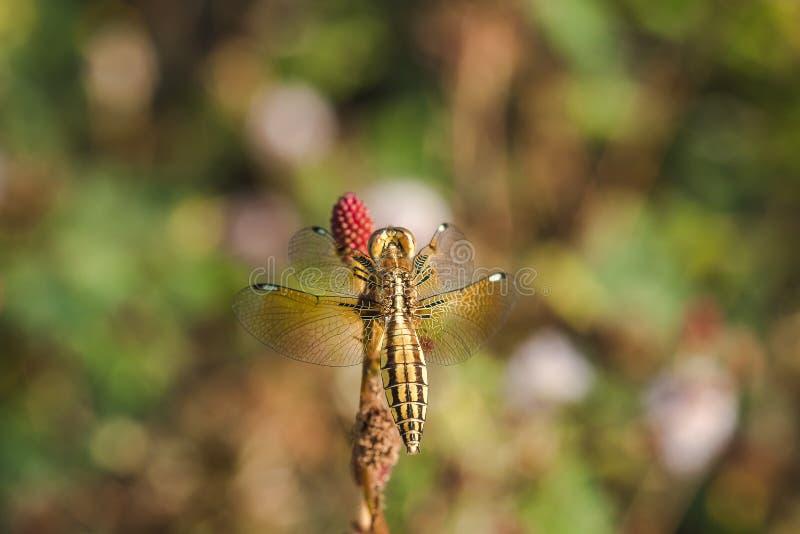 Желтые dragonflies на цветне красных цветков стоковые изображения