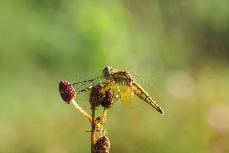 Желтые dragonflies на цветне красных цветков стоковая фотография
