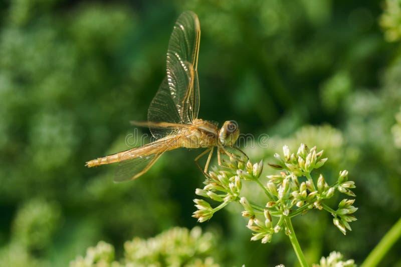 Желтые dragonflies на цветне цветка стоковые изображения