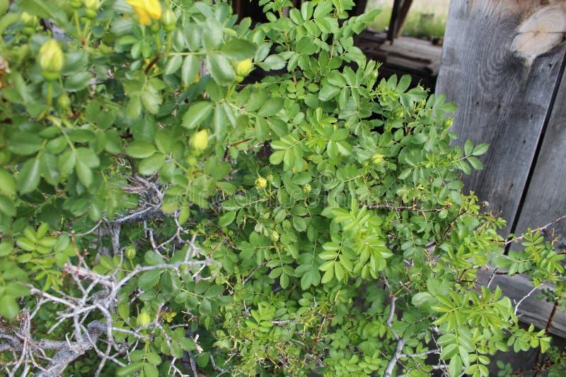Желтый амбар куста роз подпирая a стоковые изображения rf