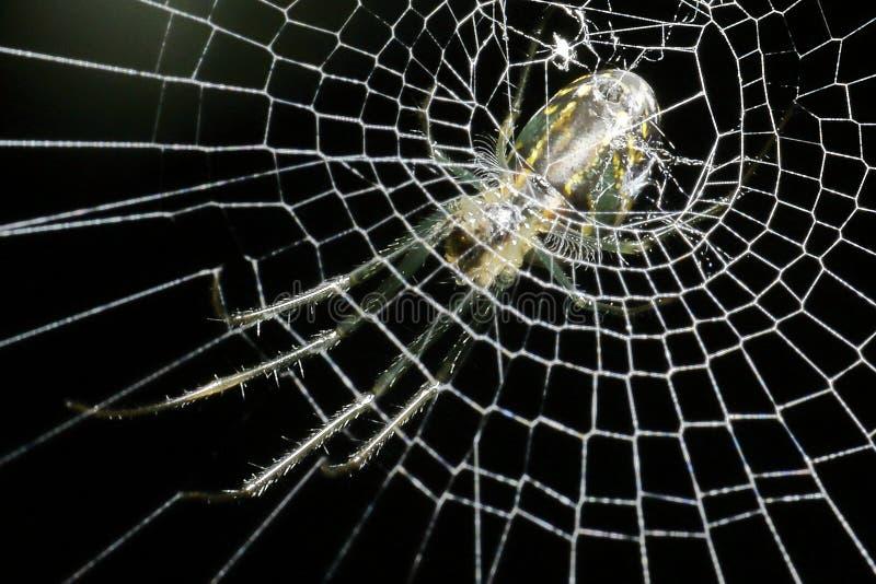 Желтый, белый и зеленый паук стоковое фото