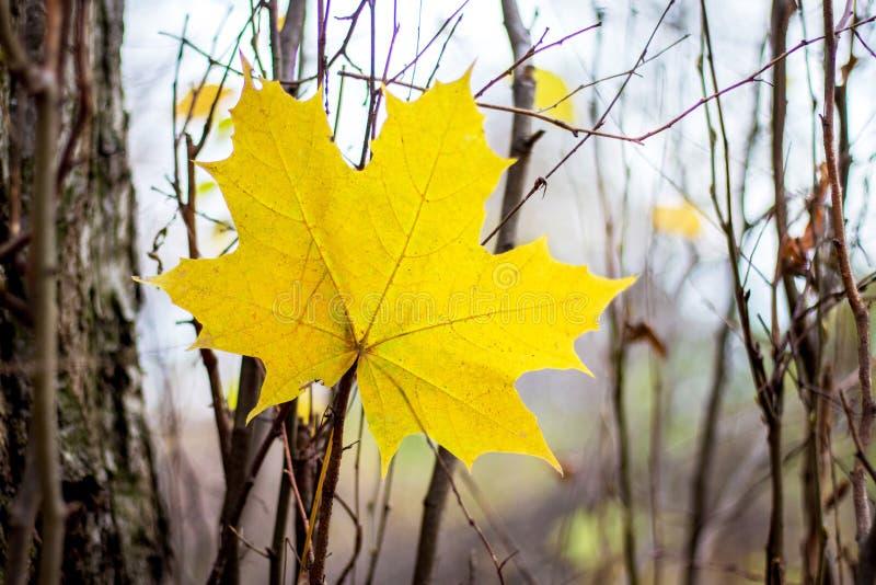 Желтый большой кленовый лист на предпосылке деревьев в fall_ стоковое изображение