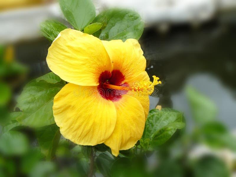 желтый большой цветок гибискуса стоковое фото