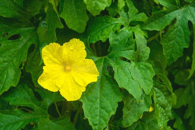 Желтый горький цветок тыквы с зелеными листьями стоковое фото