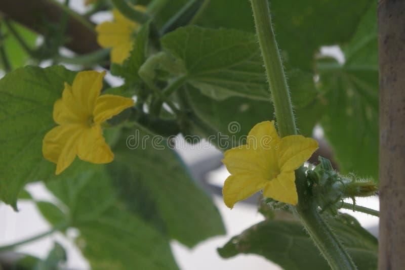 Желтый горький цветок тыквы с зелеными лист в саде стоковые изображения rf