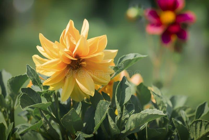Желтый ежегодный цветок георгина стоковое фото rf