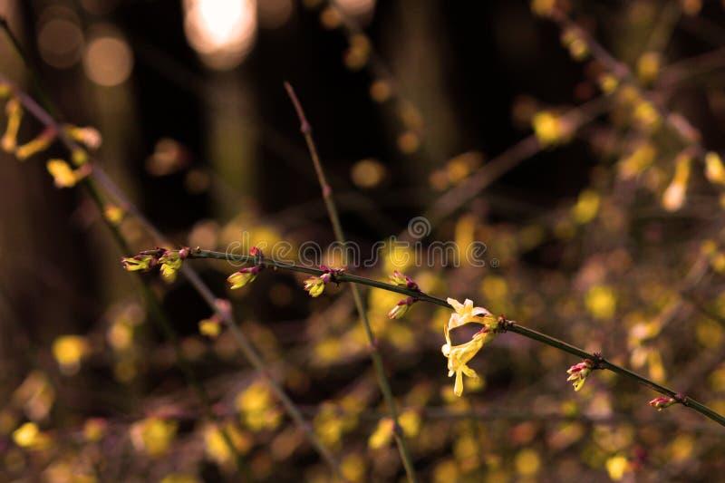 Желтый жасмин зимы; желтый эльф цветка стоковая фотография rf