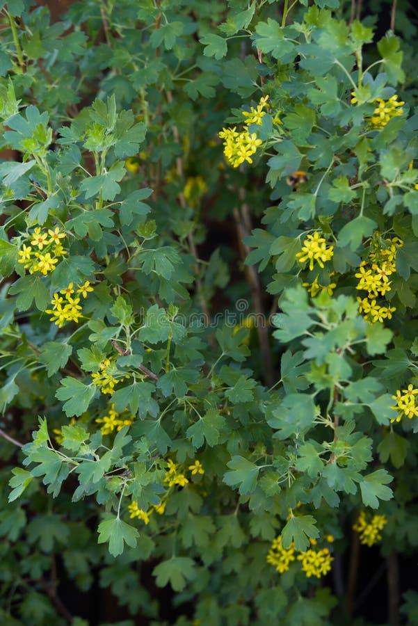 желтый зацветать цветка aureum смородины стоковая фотография