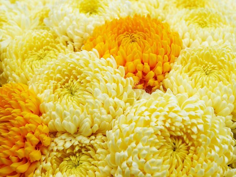 Желтый и оранжевый крупный план цветков хризантемы стоковая фотография