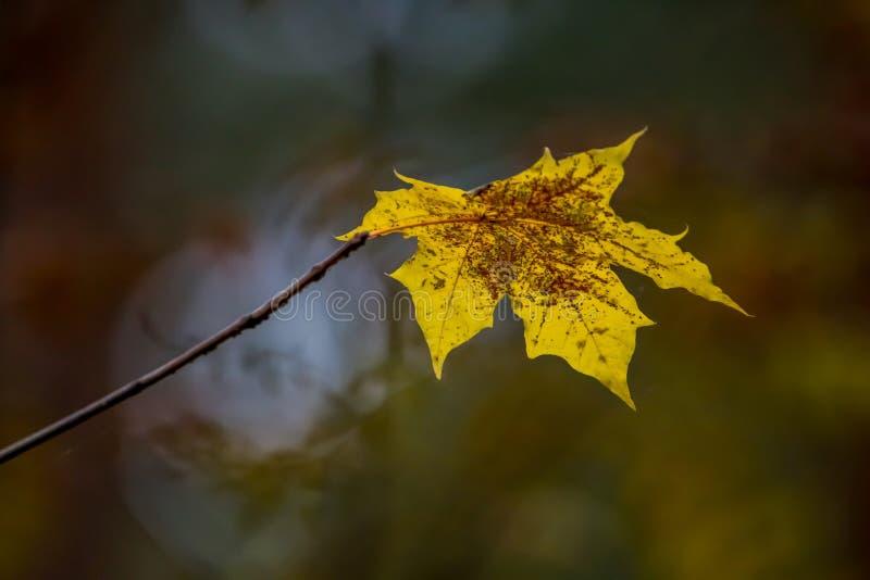 Желтый кленовый лист в осени как предпосылка стоковые фотографии rf
