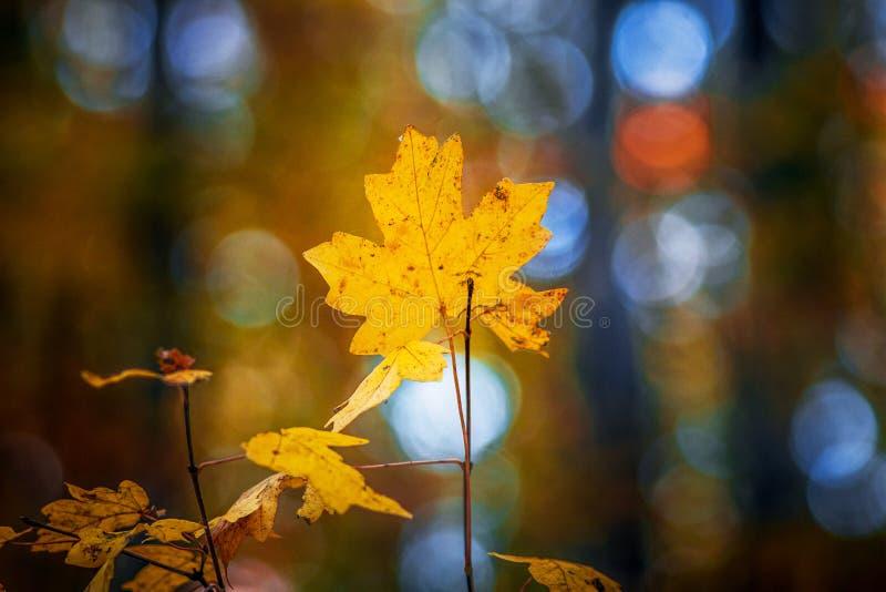 Желтый кленовый лист на ветви в лесе осени с расплывчатым background_ стоковое изображение