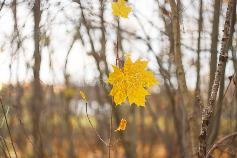 Желтый кленовый лист на обнаженной ветви в лесе осени стоковая фотография