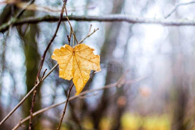 Желтый кленовый лист осени на branch_ дерева стоковое изображение rf