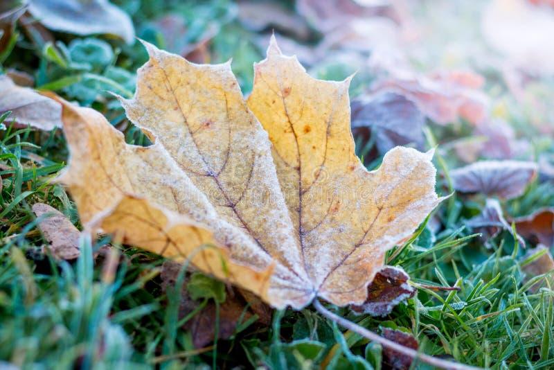 Желтый кленовый лист предусматриванный с заморозком, в древесинах на grass_ стоковая фотография rf