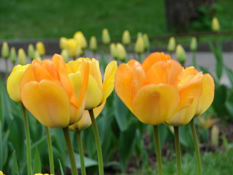 Желтый конец-вверх тюльпанов на цветнике, на заднем плане отпочковывается необъявленных тюльпанов стоковые фото