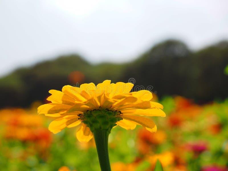 Желтый конец цветка zinnia вверх стоковая фотография