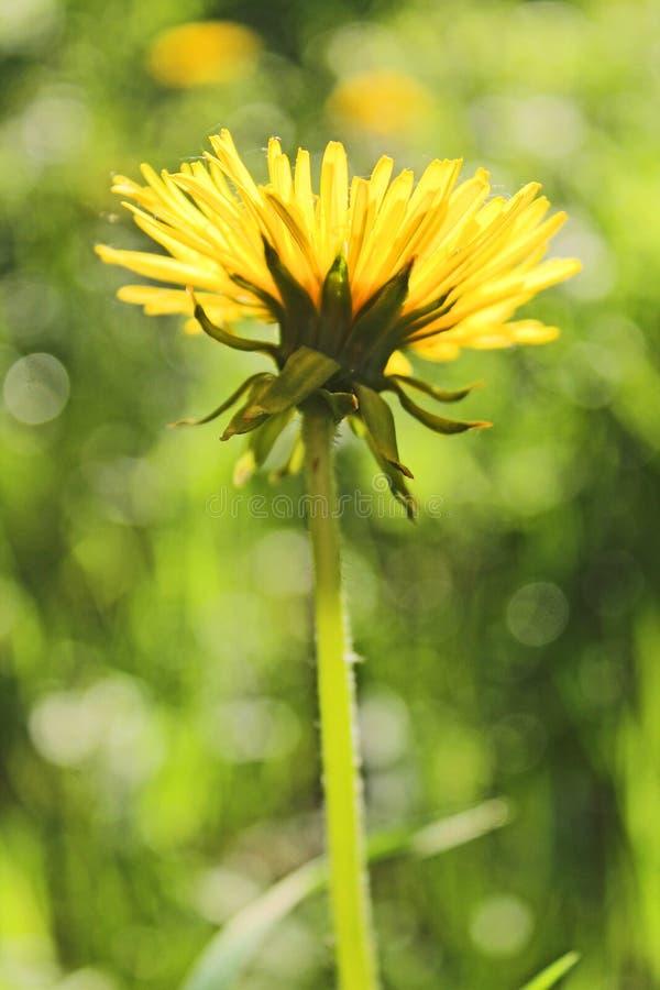 Желтый крупный план одуванчиков на предпосылке зеленой травы стоковые фотографии rf