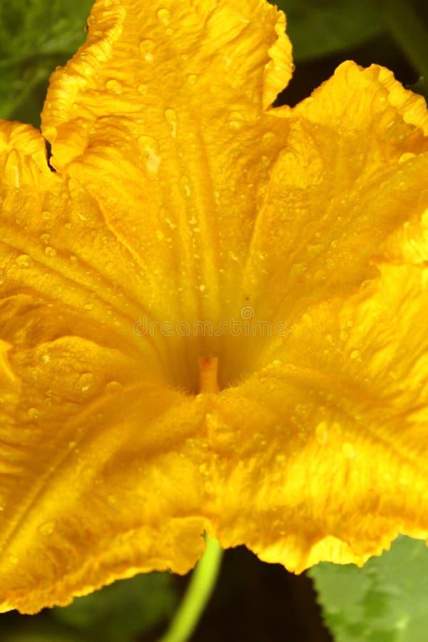Желтый крупный план цветка тыквы с падениями воды стоковые фотографии rf