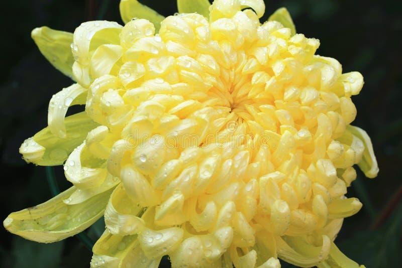 Желтый крупный план цветка хризантемы стоковые фотографии rf