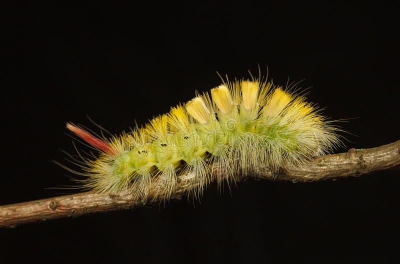Желтый кустовидный профиль гусеницы стоковое изображение rf
