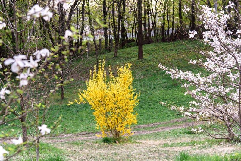 Желтый куст forsythia во время цветения стоковые фото