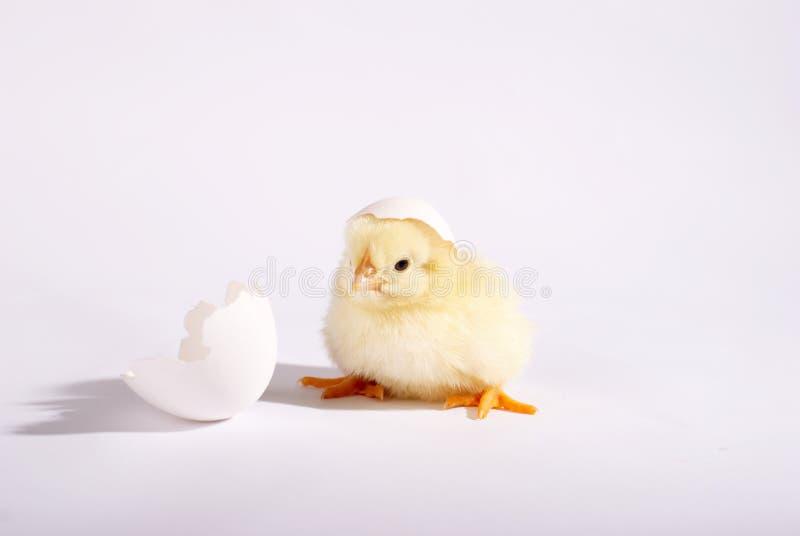 Желтый малый цыпленок при яичко изолированное на белой предпосылке стоковые фото