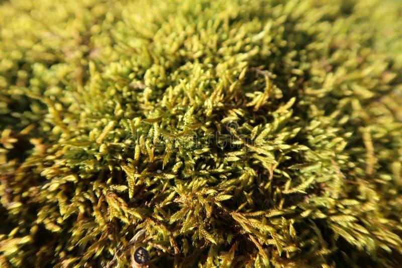 Желтый мох в лесе, предпосылке природного источника стоковое изображение