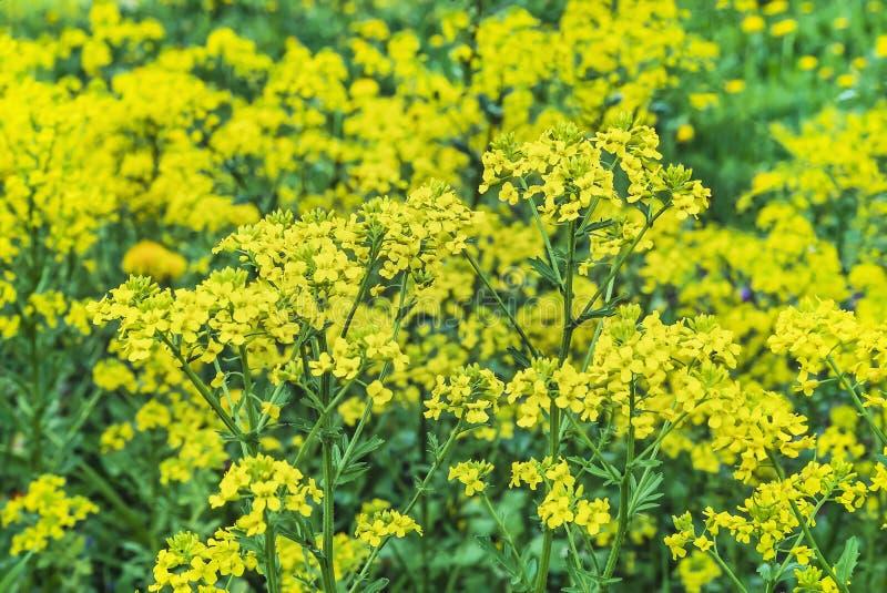 Желтый мустард цветков Предпосылка желтых wildflowers стоковое изображение rf
