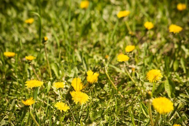 Желтый одуванчик в зеленом поле стоковое фото rf