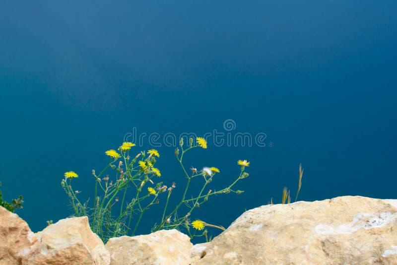 Желтый одуванчик в природе стоковая фотография