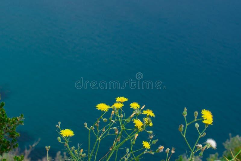 Желтый одуванчик в природе стоковое фото