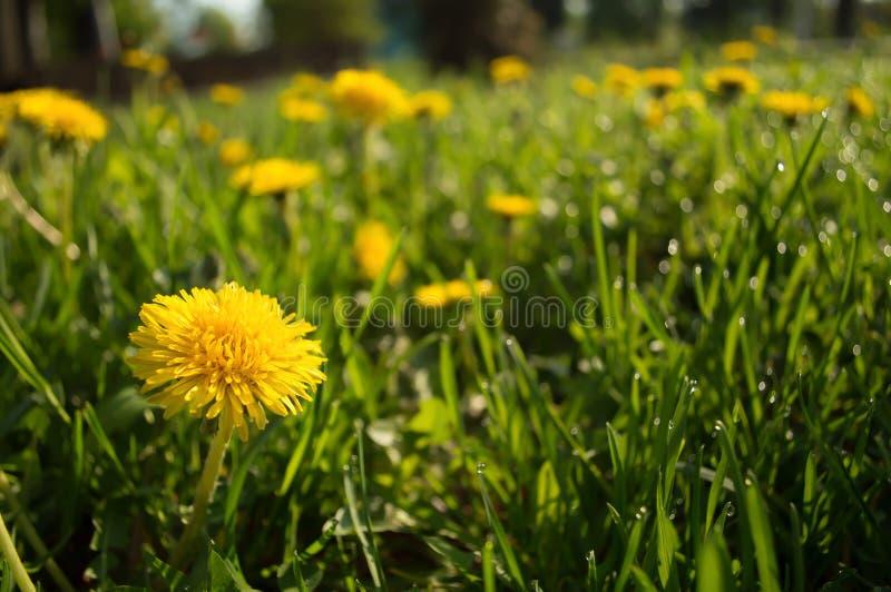 Желтый одуванчик в траве стоковая фотография